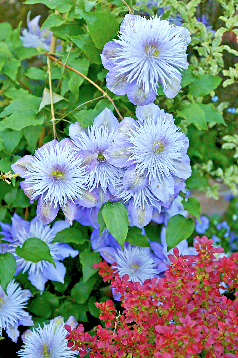 Clematis flower: varieties, planting and care, reproduction 62