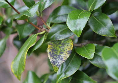 How To Deal With Sooty Mould Garden World